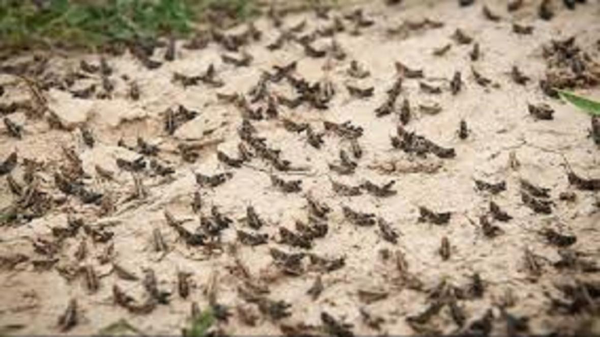 آخرین جزئیات مبارزه علیه آفت ملخ صحرایی، ملخ های تهران بومی هستند