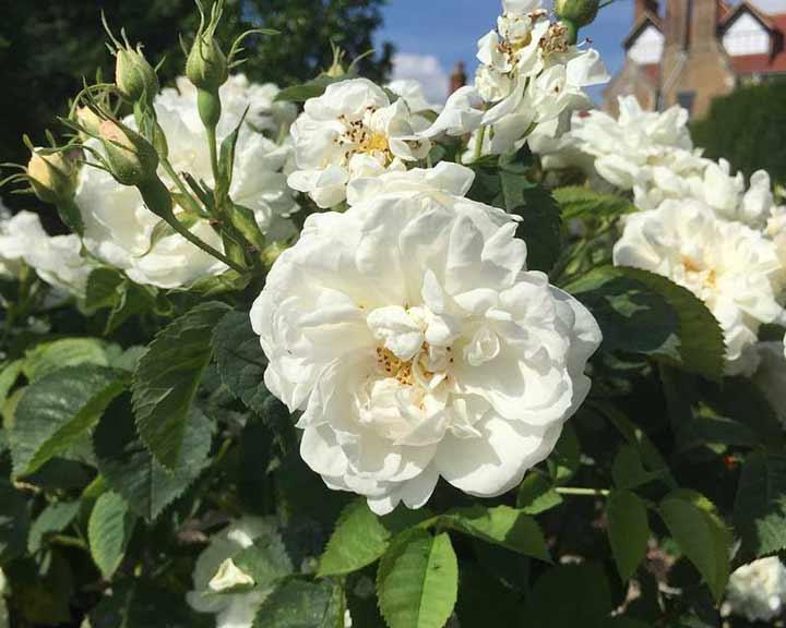 با انواع گل رز آشنا شوید