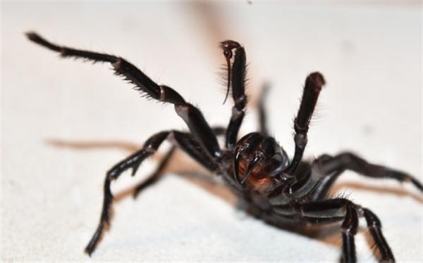 عنکبوتی سمی کودک خردسال را از پا درآورد
